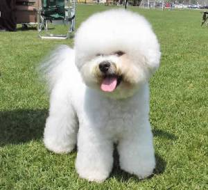 image source: http://animal-world.com/dogs/Non-Sporting-Dog-Breeds/BichonFrise.php